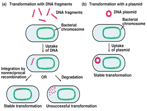 Diagram of bacterial transformation.