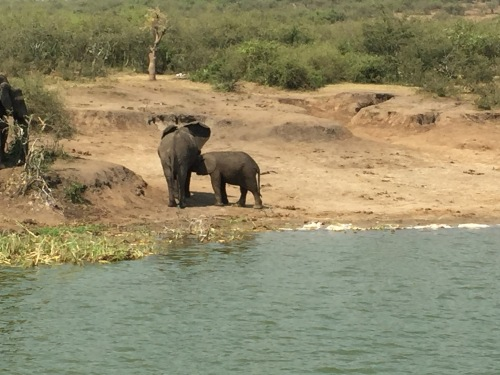 A baby elephant nursing! I saw this amazing sight while on a boat cruise.