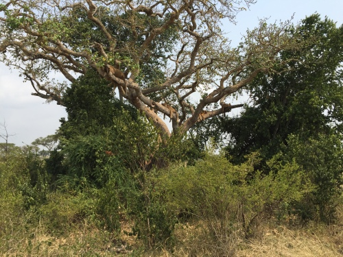 Four Ishasha tree-climbing lions resting in a fig tree.