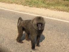 Roadside baboon