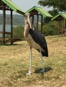 Hungry stork